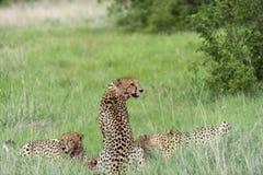 Gepard z krwią na twarzy Zdjęcia Stock