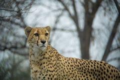 Gepard z nagimi drzewami w tle zdjęcia royalty free