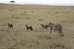 Gepard z trzy lisiątkami w dzikim maasai Mara zdjęcie royalty free