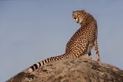 geparda światło słoneczne Zdjęcie Stock