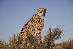 geparda światło słoneczne Obrazy Royalty Free