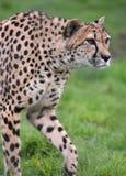 Geparda Acinonyx jubatus Zdjęcie Royalty Free