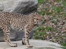 Geparda Acinonyx jubatus zdjęcie stock