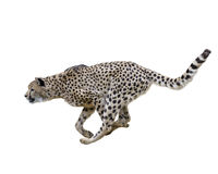 Geparda (Acinonyx jubatus) bieg Zdjęcia Royalty Free