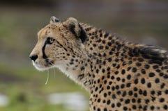 geparda bieg Zdjęcie Stock
