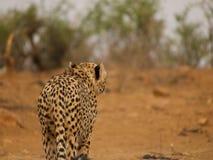 Geparda chodzenie przez krzaka Zdjęcia Royalty Free