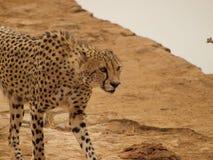 Geparda chodzenie przez krzaka Zdjęcie Royalty Free