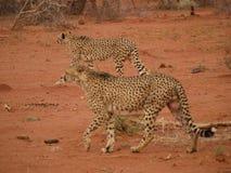 Geparda chodzenie przez krzaka Obrazy Stock