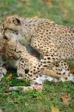 Geparda Cubs bawić się Zdjęcia Stock