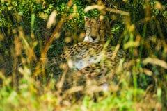 Geparda dosypianie pod drzewem w cieniu obrazy stock