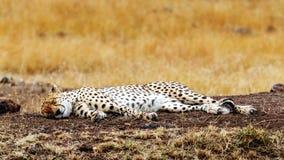 Geparda dosypianie w Afryka Fotografia Royalty Free