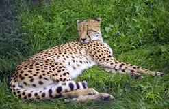 Geparda drapieżnika lamparta Afryka kota rodzina Obraz Royalty Free