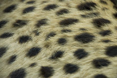 Geparda futerko zdjęcie royalty free