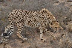 Geparda karmienie Obrazy Royalty Free