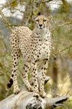 Geparda kot Patrzeje dla zdobycza w odległości Obrazy Royalty Free