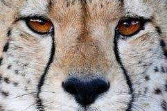 Geparda kota Dzicy oczy Zdjęcie Royalty Free