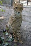 Geparda lamparta drapieżnika fangs gracja Afryka Obrazy Royalty Free
