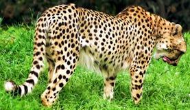 Geparda liźnięcie Zdjęcie Stock
