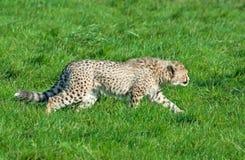 geparda lisiątko grasuje obrazy royalty free