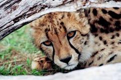 Geparda lisi?tko patrzeje pod drzewnym baga?nikiem zdjęcia stock