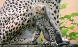 Geparda lisiątko przed jego matką 04 Obrazy Stock