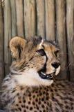 Geparda lisiątko s Obraz Royalty Free