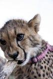 Geparda lisiątko s Fotografia Royalty Free