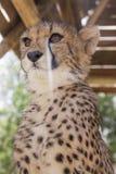 Geparda lisiątko s Zdjęcia Royalty Free
