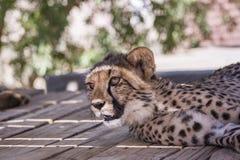 Geparda lisiątko s Obrazy Royalty Free