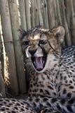 Geparda lisiątko s Zdjęcie Royalty Free