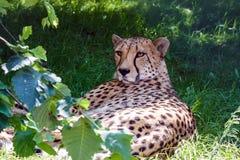 Geparda lying on the beach w zielonej trawie Fotografia Stock