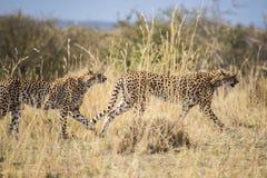 Geparda macierzysty & stary męski lisiątka czajenia zdobycz Acinonyx jubatus Maasai Mara, Afryka Fotografia Stock