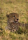 geparda oblizania wargi Zdjęcie Royalty Free