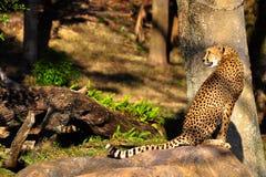 geparda obsiadanie Zdjęcie Royalty Free