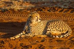 Geparda obsiadanie na czerwonym piasku przy wschodem słońca Zdjęcie Stock