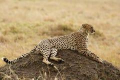 Geparda obsiadanie na kopu, Masai Mara Zdjęcia Royalty Free