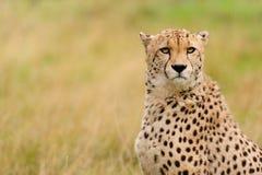 Geparda obsiadanie w trawie fotografia royalty free