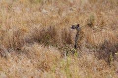Geparda obsiadanie w trawie Obrazy Stock