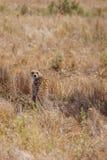 Geparda obsiadanie w trawie Obrazy Royalty Free
