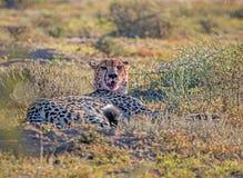 Geparda odpoczywać Zdjęcie Royalty Free