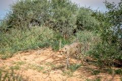 Geparda odprowadzenia puszek diuna w Kalagadi obraz royalty free