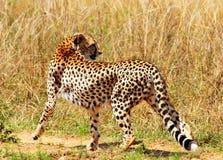 geparda odprowadzenie Fotografia Stock
