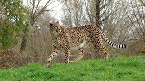Geparda odprowadzenie na trawie Zdjęcia Royalty Free