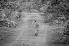 Geparda odprowadzenie w drodze w Welgevonden zdjęcia stock