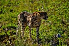 Geparda odprowadzenie w Południowa Afryka fotografia stock