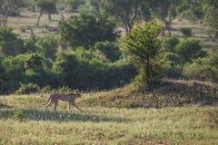 Geparda odprowadzenie w sawannie Południowa Afryka Zdjęcie Royalty Free