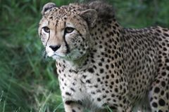 Geparda odprowadzenie w trawie fotografia royalty free