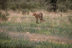 Geparda odprowadzenie w trawie obraz stock