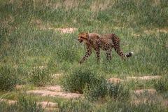 Geparda odprowadzenie w trawie obrazy stock