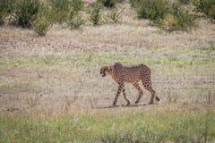 Geparda odprowadzenie w trawie zdjęcia royalty free
